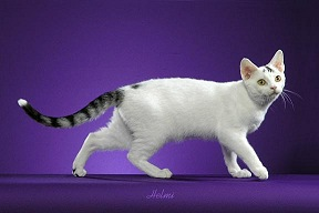 File:Silver tabby cat.jpg