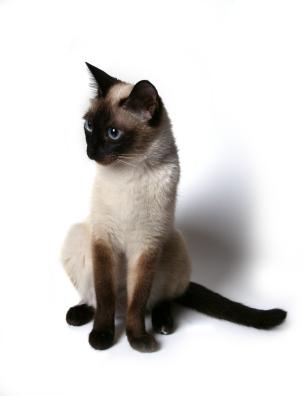File:Siamese cat posing.jpg