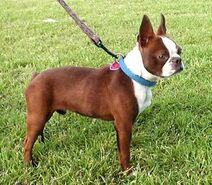 Red-boston-terrier