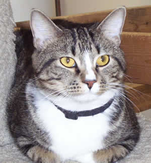 Tabby cat 2