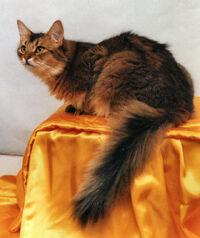 Somali cat 3