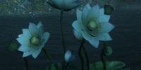 Dawn Lotus