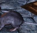 Codex entry: Rat