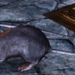 ... Giant Rats!