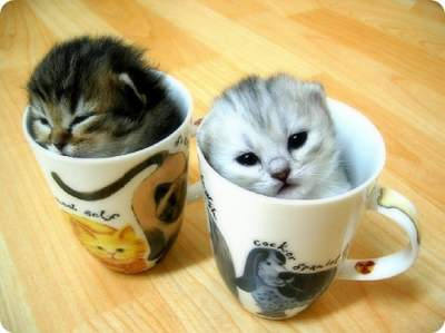 File:Two-kittens-two-cups.jpg