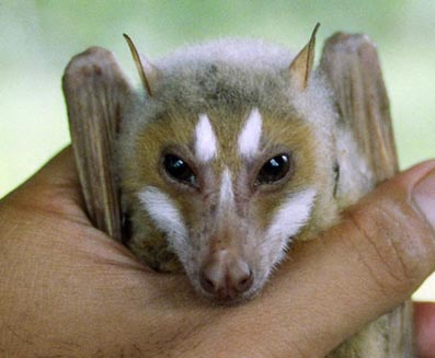 File:Cute bat2.JPG