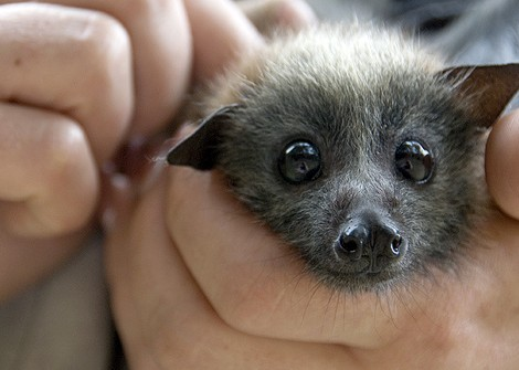 File:Cute bat.jpg