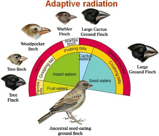 Adaptive Radiation Example Adaptive-radiation Darwins