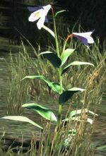 Dragon's Dogma - White Orchid