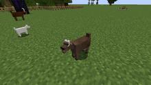 Light brown goat