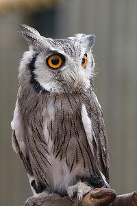Reynaud owl