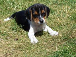 Reynaud beagle puppy