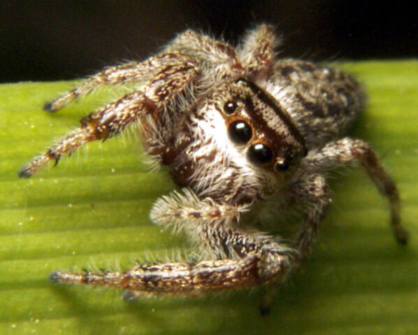 File:Jumpingspider2.jpg