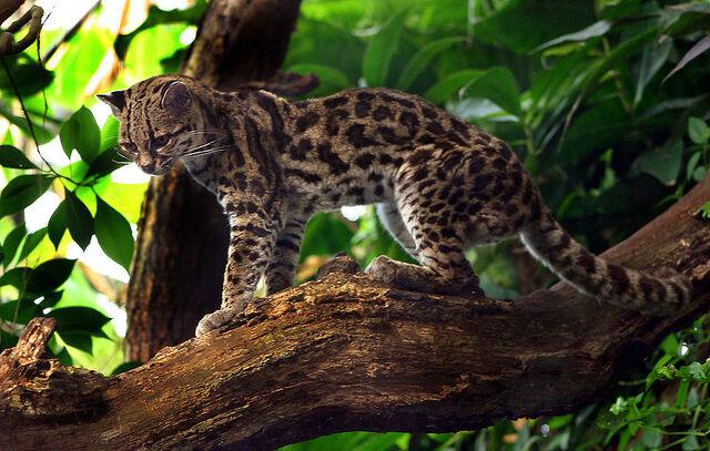 File:Margaykat Leopardus wiedii.jpg