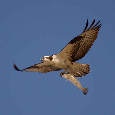 File:Osprey catch.jpg