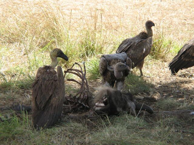 File:Vultures.JPG