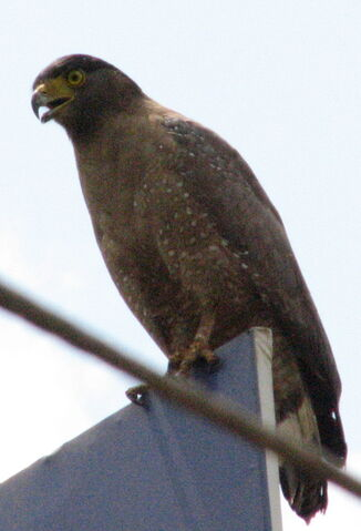 File:Crested Serpent Eagle.jpg
