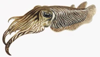 File:Cuttlefish.jpg