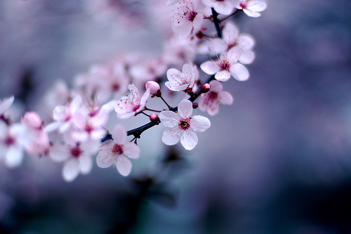 File:Cherry Blossoms.jpg