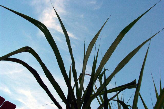 File:Sugar cane leaves.jpg