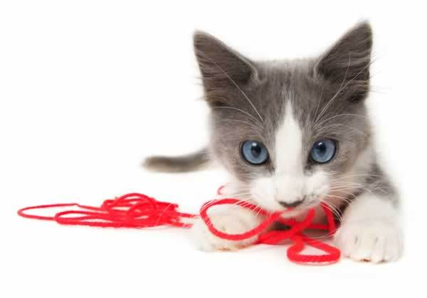 File:Cat-kitten-cute-picture-photo-play-blue-eyes-yarn.jpg