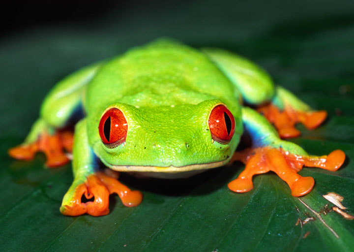 Tree Frogs - NA   Ectotherms Wiki   Fandom powered by Wikia