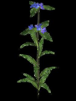 Alkanet Flora.png