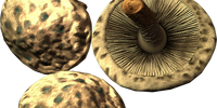 Scaly Pholiota