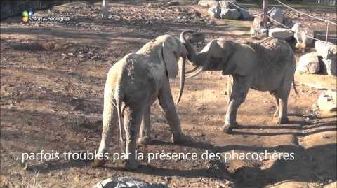 Quand les éléphants font connaissances au Safari de Peaugres-0