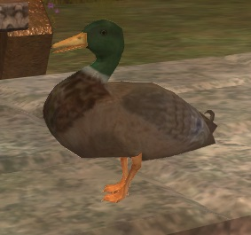 File:A common mallard (Visible).jpg