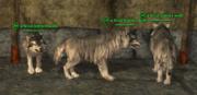 Wolf (Berserker) Placed