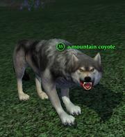 A mountain coyote