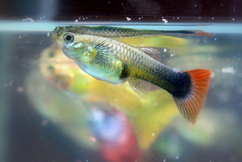 Archivo:Guppy 10-16-2006 10-50-08 PM.jpg