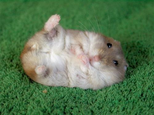 File:Cute hamster.jpg