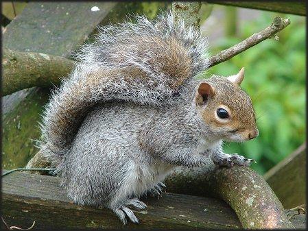 File:Grey-squirrel.jpg
