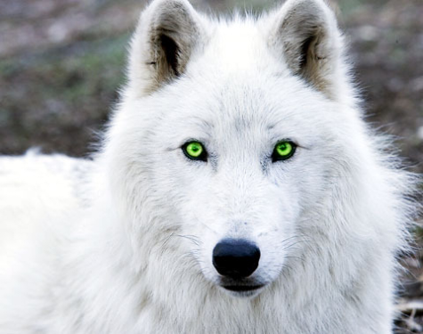 File:White wolf.png