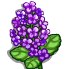 Purple Canola-icon