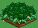Broccoli extra100