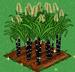 Sugar Cane extra100