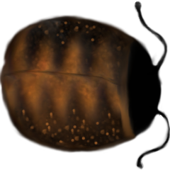 File:Pet Canadian Dung Beetle.png
