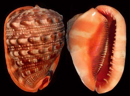 File:Red helmet shell1.jpg