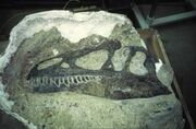Allosaurus-fossilized skull