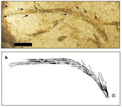 Feather Sinornithosaurus