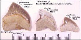 Squalicorax sp. Smokychalk1
