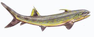 Sphenacanthus1DB