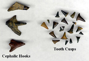 Hybodus teeth and spines