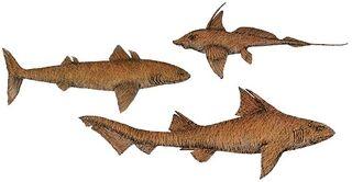 R-sharks