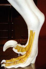 Dromaeosaurid foot NHM