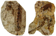 Beipiaosaurus holotype Jan 2009