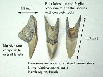 Paraisurus macrorhiza1